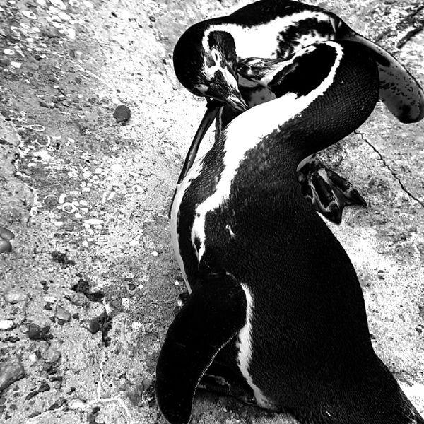 LIFEMATES 🐧🐧 Blackandwhite Penguinkisses Myphotos Ilovephotography Saintlouiszoo