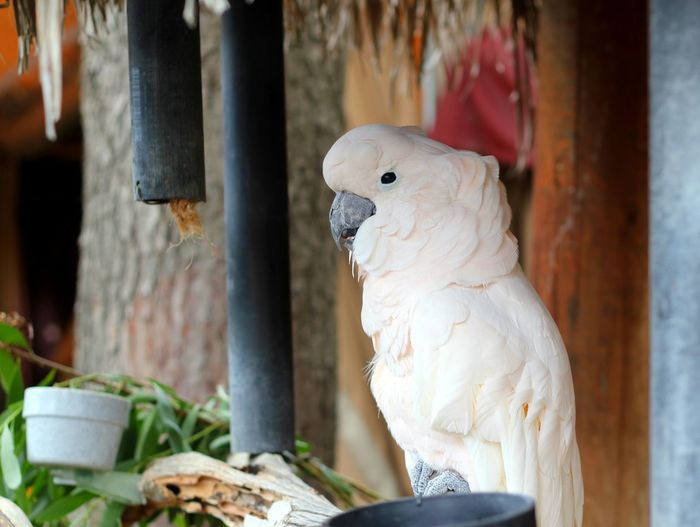 Close-up of cockatoo perching on railing