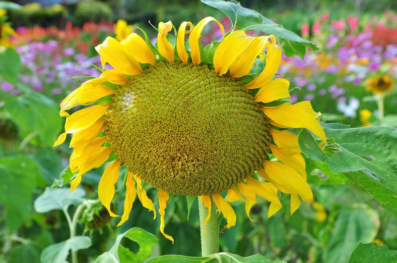 Sunflower Flower Yellow Fragility Petal Beauty In Nature Flower Head Plant Nature Growth Freshness Close-up Sunflower Outdoors Botany Day Leaf Blossom