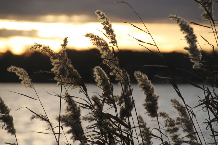 Agriculture Beauty In Nature Cereal Plant Close-up Day Field Growth Nature No People Outdoors Plant Reed - Grass Family Reed And Sunset Reed And Water Rural Scene Scenics Sky Sunset Tranquil Scene Tranquility Tree