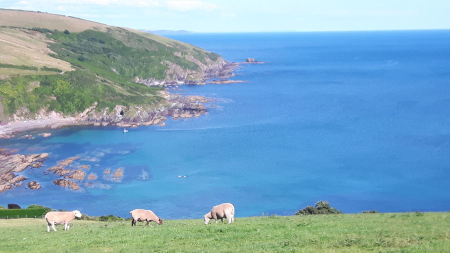 Cows Grazing On Field By Sea Against Sky