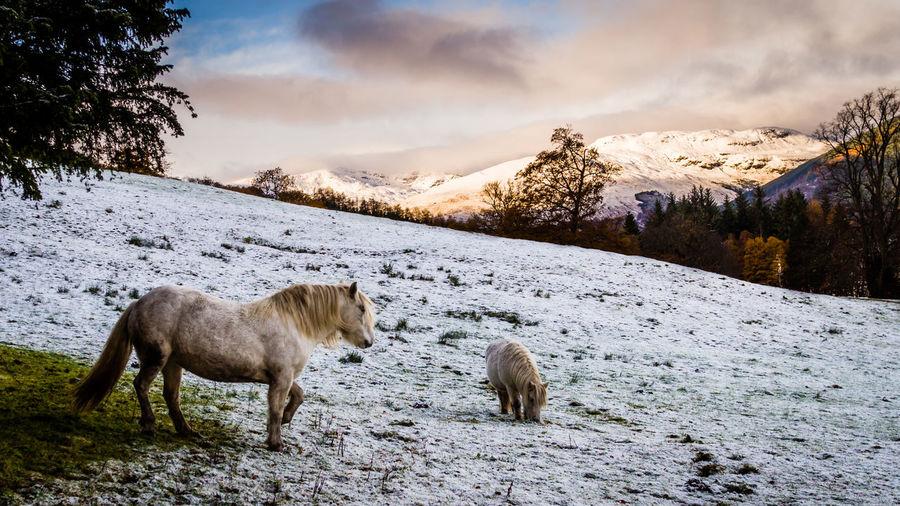 Sheep on snow field against sky
