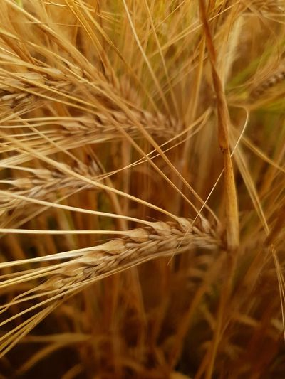 Golden Fields Golden Agriculture Full Frame Close-up Plant Grain Wholegrain Farmland Barley Cultivated Land Combine Harvester Crop