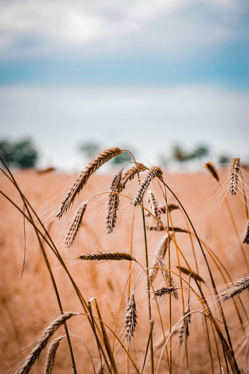 Summer Agriculture Alley Beauty In Nature Brandenburg Cereal Plant Close-up Crop  Day Focus On Foreground Germany Growth Nature No People Outdoors Scenics Sky Tranquil Scene Tranquility Wheat