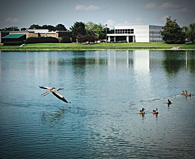 Check This Out Hanging Out Relaxing Enjoying Life Taking Photos Home Taking Photos EyeEm Edits rock Nature Is amazing‼️‼️ Outside Cheese! Hi! That's Me Clouds And Sky Geese also star of this photo is the Herron Cruising Around the lake. The Herron is the only Truly Wild foul on the lake. Also learned that those herrons can land and take off out of a trees🤔🤔😎😎 Maybe Make Friends if he hangs around. I incorporated several almost empty boxes of Cereal to feed to my feathered friends. They loved the multi-grain Cheerio's. The turtles leaned toward rice Chex Cereals