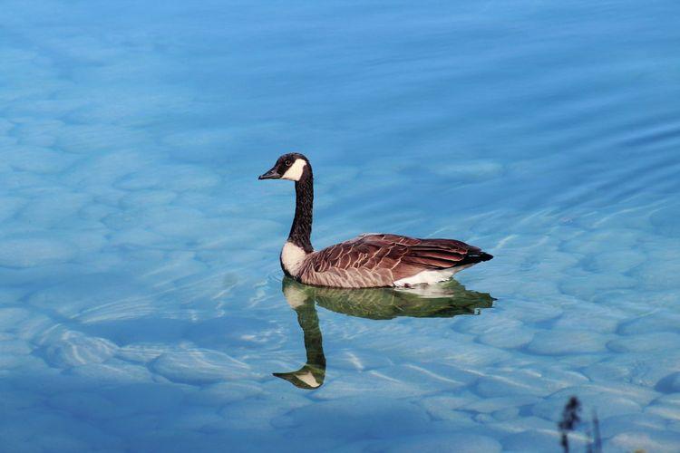 goose Canada