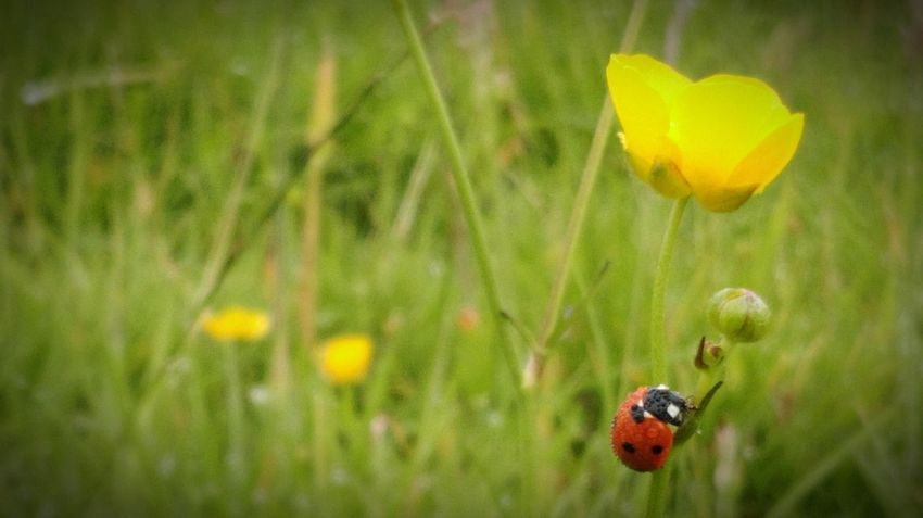 Ladybird Buttercup In The Countryside Countryside Countryside Walk Beauty In Nature Nature Nature Photography EyeEm Nature Lover Phone Photography HTC One