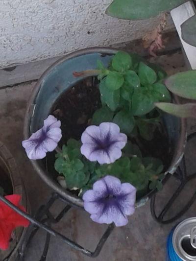 Purple. Petals,