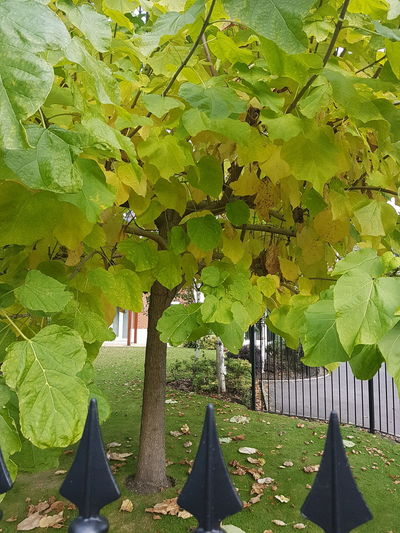Huge leaves of Indian Bean tree, the Catalpa. Indian Bean Tree Catalpa Bignonioides Green Leaves Huge Leaves Small Tree Tree As Ornament Garden Tree Poole, Dorset Autumn 2016 England, UK Delicate Leaves