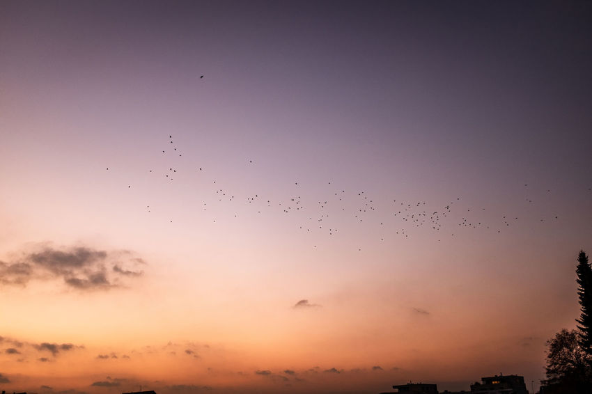 Flying Sky Flock Of Birds Large Group Of Animals Animal Themes Animal Group Of Animals Animals In The Wild Bird Animal Wildlife Sunset Vertebrate Silhouette No People Nature Beauty In Nature Motion Mid-air Cloud - Sky Animal Migration Outdoors