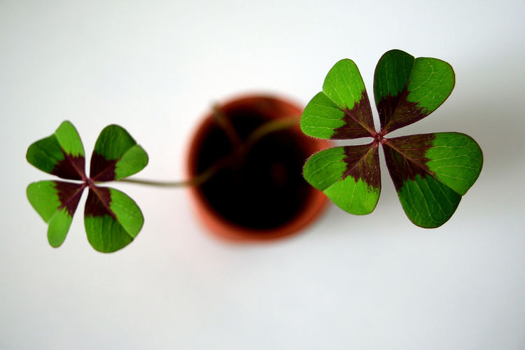 Lucky shot Clover Luck Lucky Saint Patrick's Day Beauty In Nature Chance Close-up Day Four Leaf Clover Freshness Growth Indoors  Leaf Plant White Background