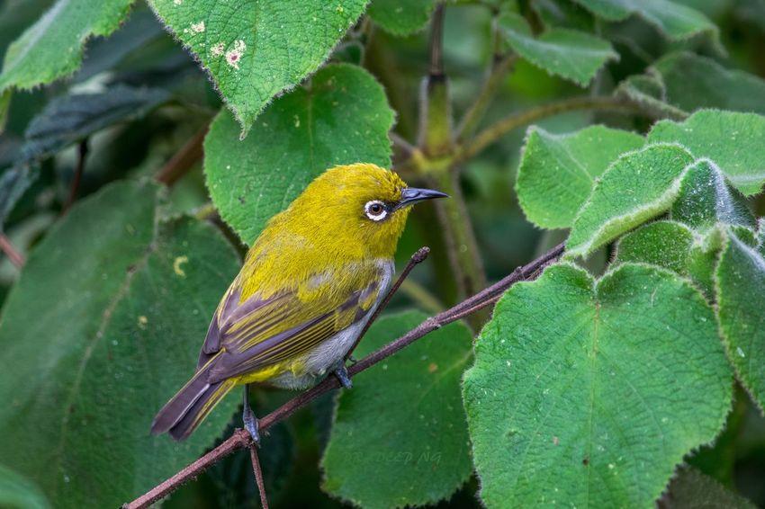 Oriental white eye... First Eyeem Photo Birds Indian Birds Nature