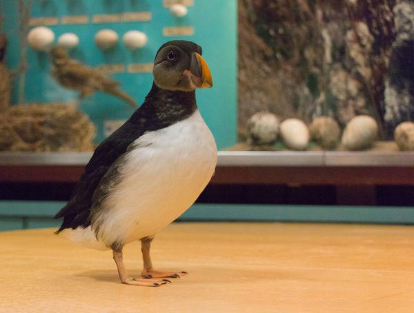 Bird Photography Heimaey Iceland Icelandic Birds Puffin Uccelli Animals Bird Puffins Pulcinella Di Mare Toti
