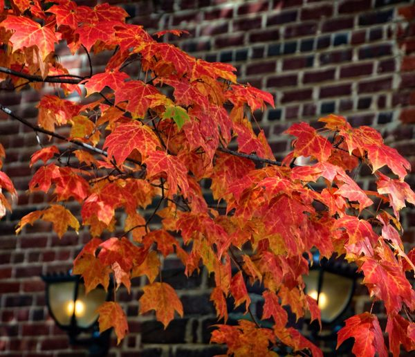 Beautiful fall colors near a brick wall in Alexandria, Virginia. Autumn Leaf Change Maple Leaf Orange Color Leaves Nature Maple Tree Beauty In Nature No People Close-up Outdoors Day Maple