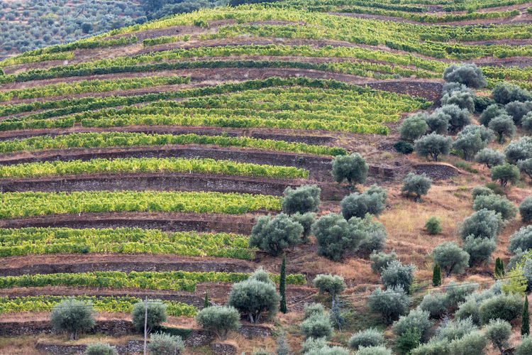 Vineyards and olive trees on banks of Douro River in Portugal, the oldest wine region in the world. Douro  Portugal Agriculture Beauty In Nature Day Environment Field Green Color Growth High Angle View Hill Land Landscape Nature No People Outdoors Plant Rolling Landscape Rural Scene Scenics - Nature Tranquil Scene Tranquility Tree Vineyard Wine