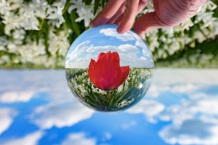 "One red tulip in a sea of white hyacinths (Nikon D810 14-24mm f/2.8 ƒ/6.3 24mm 1/250"" iso 64) Nature's Diversities Ball Beautiful The Great Outdoors With Adobe Close-up Crystal Dutch Flower Focus On Foreground Holding Holland Landscape Magical Mid-air Multi Colored Nature No People Outdoors Selective Focus Sphere Surreal Tulip Upside Down Www.benjaminvanderspek.com Lost In The Landscape"