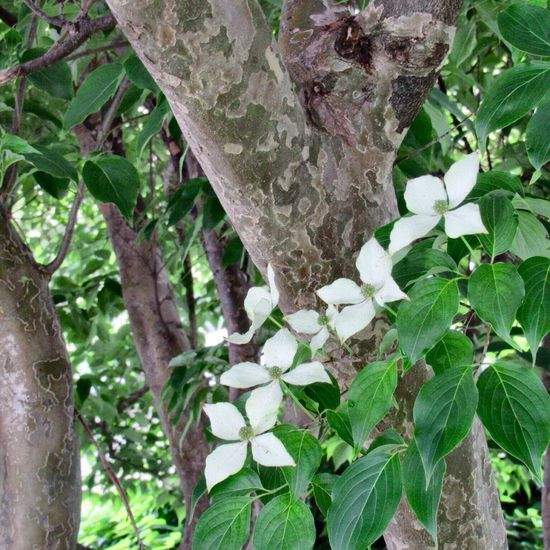Under the Dogwood tree 😄 White Flowers Dogwood Tree Tree Tree Trunk Branch Flower Low Angle View Close-up Beauty In Nature Freshness Outdoors