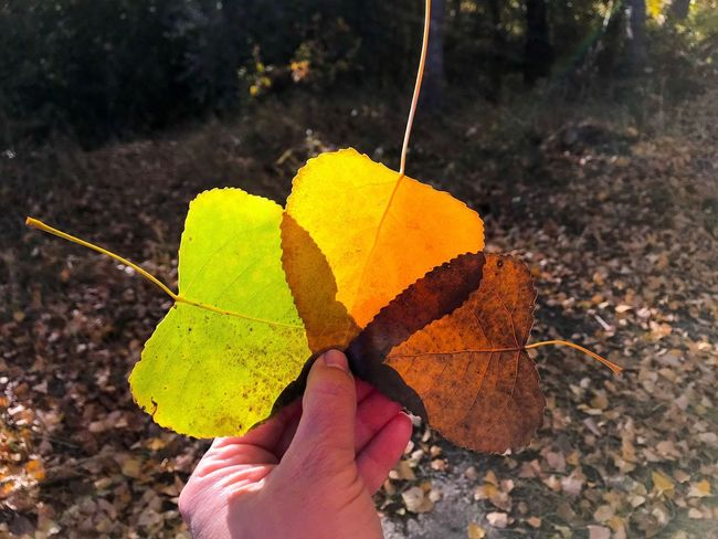 Fall Colors Leaves Poplar Leaves Human Hand Human Body Part Leaf Holding One Person Real People Unrecognizable Person Personal Perspective Autumn Nature Forest Variation Color Palette Color Autumn Colors Human Finger Fall Leaves Poplar Dry Autumn Change Forest Trees