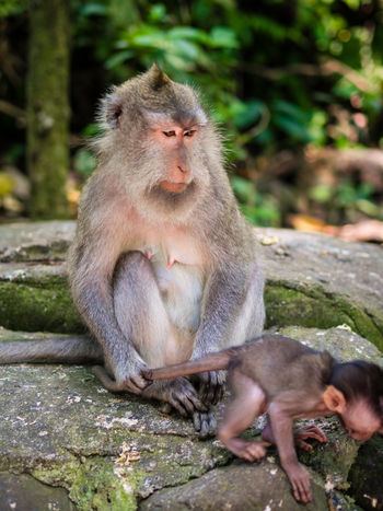 Animal Themes Animal Wildlife Animals In The Wild Baby Bali Care Cute Day Escape Fun INDONESIA Jungle Mammal Monkey Monkeys Mother Nature No People Noescape Outdoors Sitting Togetherness Wild Wildlife The Portraitist - 2017 EyeEm Awards
