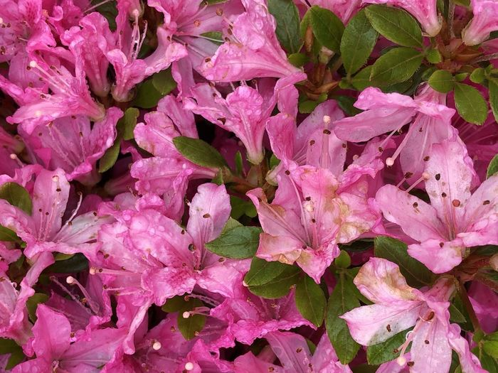 Full frame shot of raindrops on pink flowers