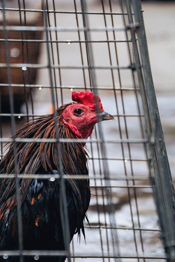 Chicken - Bird Rooster Cage Bird Livestock Birdcage One Animal Animal Themes No People Red Close-up Outdoors Day Nature Pet Portraits Animal Domestic Animals Pets