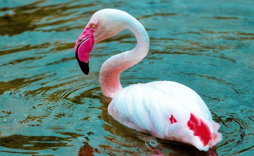 Flamingo Bird Animal Themes Animals In The Wild Animal Wildlife Water Animal Vertebrate Lake Flamingo One Animal No People Day Pink Color Nature Animal Neck Swimming Water Bird Floating On Water Swan Beak