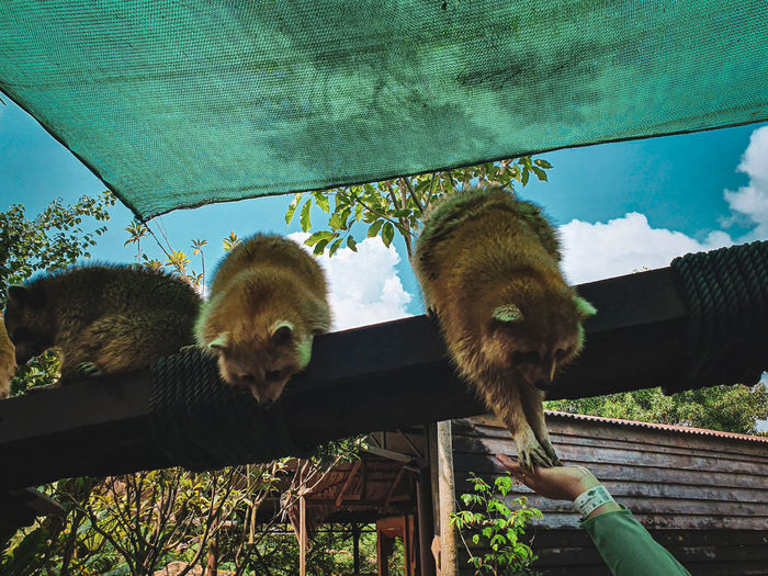 Raccoons being fed
