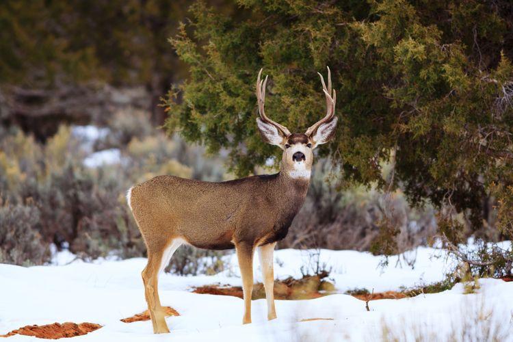 mule deer Mule Deer Animal Themes Wildlife Utah Animal Antler Snow Stag Cold Temperature Winter Antler Full Length Natural Parkland Hoofed Mammal Deer