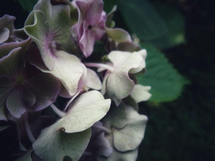 Ortensia Flower