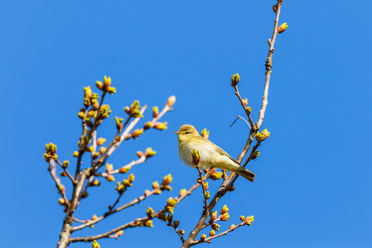 Low angle view of bird perching on tree against blue sky