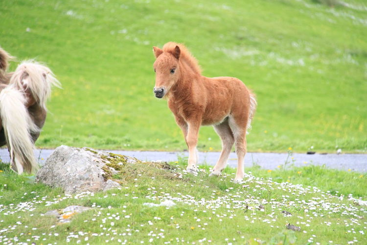 Ponies on grassy field