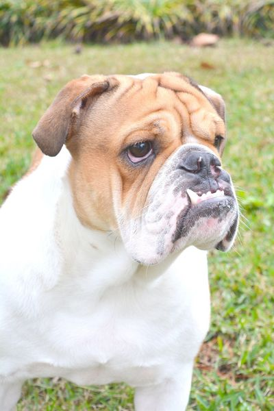 English Bulldog Dog Pets Bulldog English Bulldog Puppy Domestic Animals Bullies