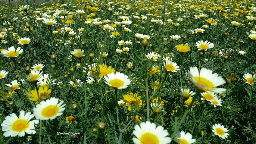 Flower Beauty In Nature Yellow Fragility Nature Growth Plant Freshness Petal No People Flower Head Field Blooming Green Color Springtime Outdoors Grass Day Oujda @morocco Oujda City, Morocco Morocco 🇲🇦 Green Wildflower