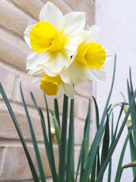 Daffodils Mutant Mutant Flowers