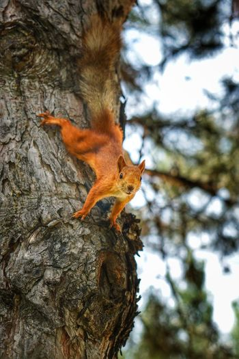 Red beast Squrell One Animal Squirrel Tree Outdoors Animals In The Wild Animal Themes Nature