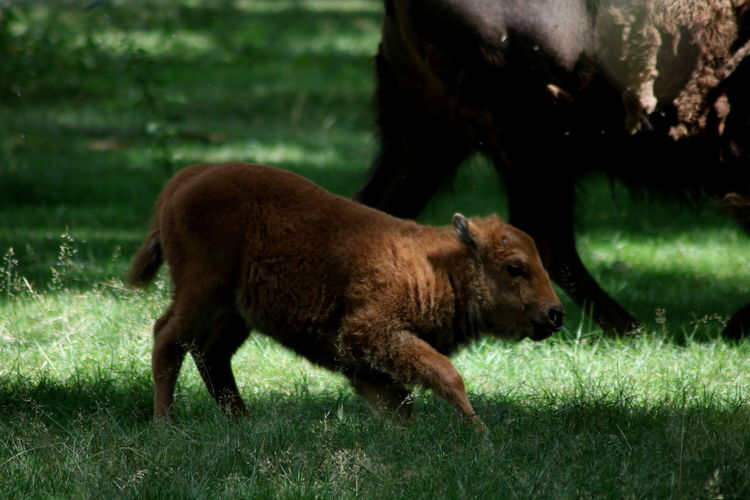 Bison calf Animal Animal Themes Beauty In Nature Bison Bison Calf Calf Cute Day EyeEm Animal Lover EyeEm Nature Lover Field Full Length Grass Mammal Nature No People Outdoors Stand Up Young Animal