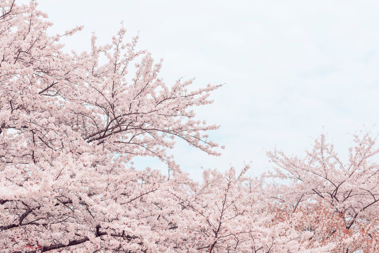 Cherry Blossoms Sakura No People Cherry Tree Nature Cherry Blossom Blossom Pink Color Plant Springtime Tree Flower Flowering Plant Abundant Background Zen negative space