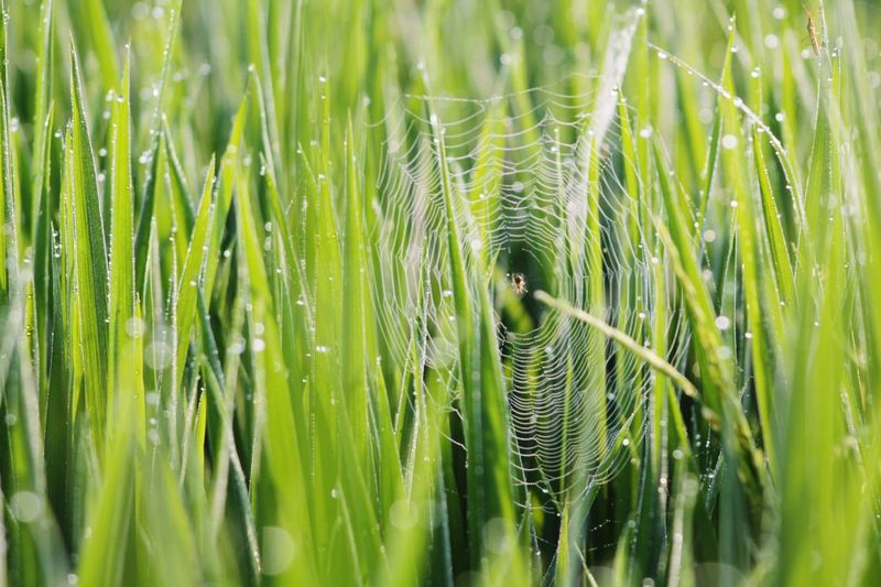 Spider Animal Themes Indonesia Photography  Lumajangindahsekali Indonesiabagus Indonesia_allshots Animal_collection Backgrounds Cereal Plant Full Frame Agriculture Close-up Grass Plant Green Color
