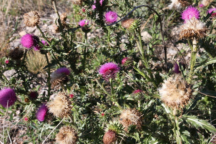 New Mexico, USA Beauty In Nature Cardoon Day Flower Flower Head Fragility Freshness Growth Nature No People Outdoors Plant Thistle