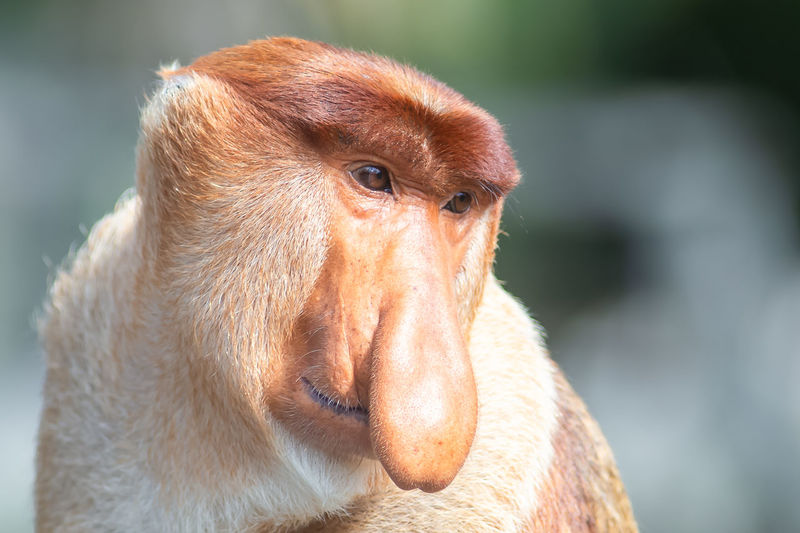 Close-up portrait of a monkey looking away