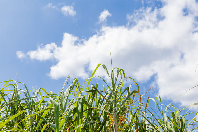 Sugar cane field Amami Oshima Copy Space Japan Japan Photography Kagoshima Agriculture Beauty In Nature Blue Cloud - Sky Crop  Environment Field Green Color Growth Island Landscape Nature No People Outdoors Plant Plant Part Sky Sugar Cane Summer Tropical