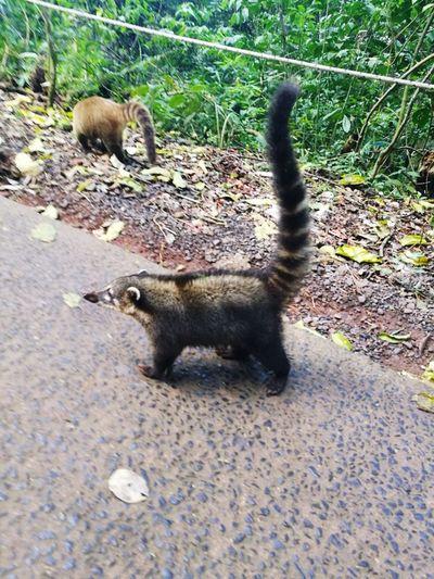 Coati Animal