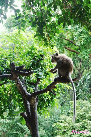 Monkey Tree Koala Lemur Branch Climbing Monkey Animal Themes Plant