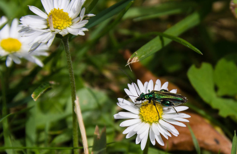 Beauty In Nature Blooming Close-up Daisy Flower Flower Head Focus On Foreground Green Green Color Insect Irridescense Irridescent Nature Outdoors Petal Plant Pollen White Color Wildlife