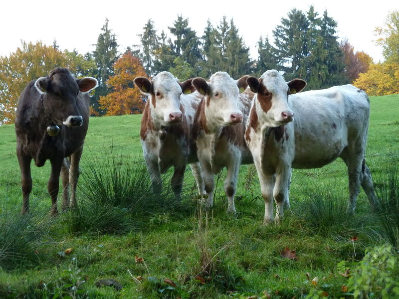 One King, three Queens. Bull Animal Themes Cattle Cow Cows Domestic Animals Domestic Cattle Domesticated Animal Tag Farm Animal Grass Looking At Camera No People Outdoors Portrait Standing