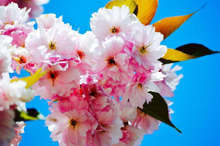 Cherry flower Flower Nature Fragility Beauty In Nature Freshness Flower Head Pink Color Outdoors Tree