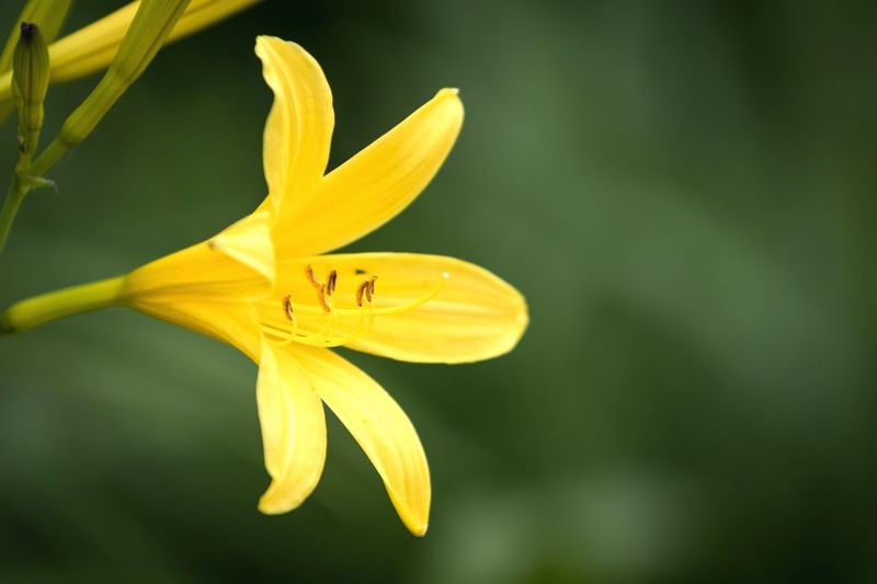 Close-up of yellow lily blooming outdoors