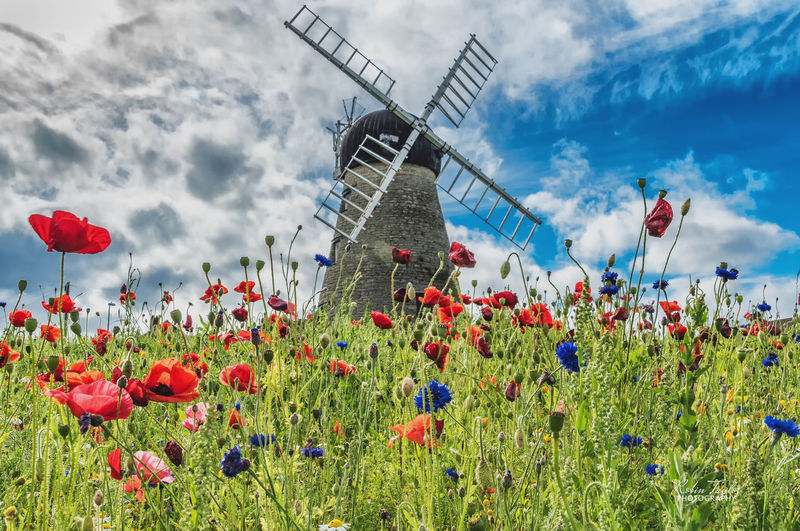 Summer Flowers At Whitburn Mill.....A host of Poppies in front of the historic old windmill. Flower Cloud - Sky Outdoors Nature Sky Poppy Beauty In Nature Landscape Color Nature Scenics Summer Windmill Historical Building Architecture Whitburn