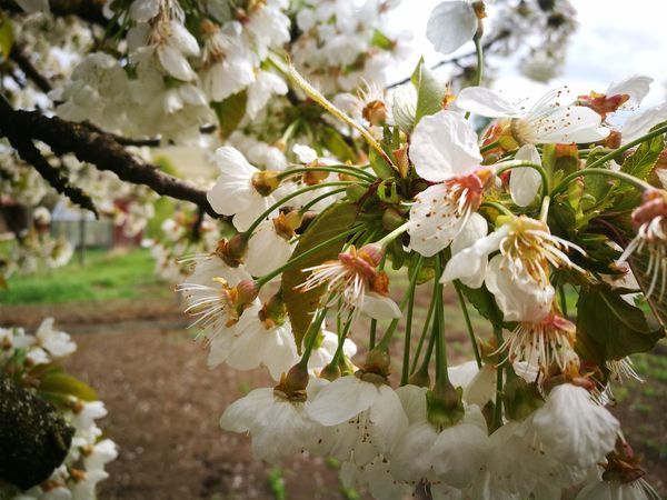 Flower Nature Blossom Springtime Branch Fragility Growth White Color Close-up Tree Beauty In Nature No People Outdoors Plant Petal Flower Head Day Freshness Sky