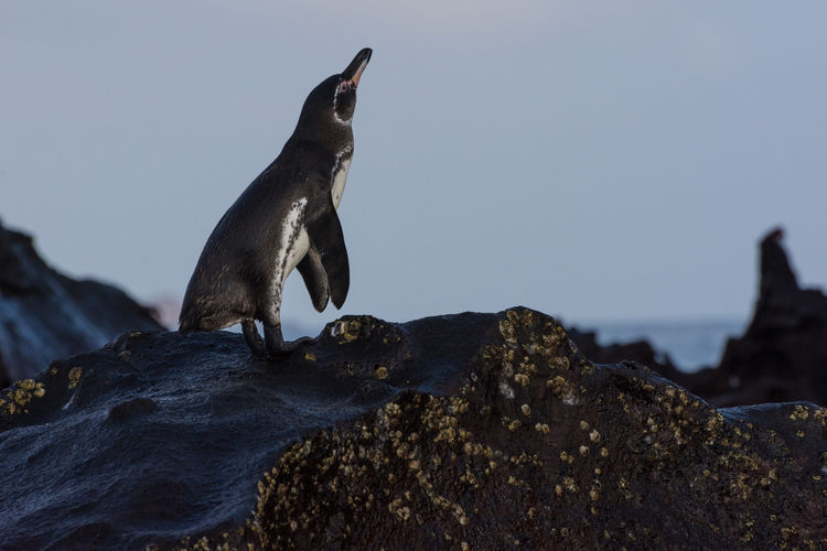 Close-up of penguin perching on rock
